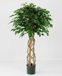 Sidenväxt. Benjaminficus med flätad stam