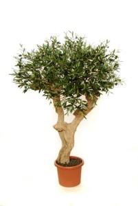 Konstgjorda växter i form av olivträd med äkta stam