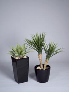 Konstväxter, Agave och Yucca