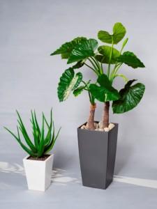 Konstväxter, Aloe och Alocasia