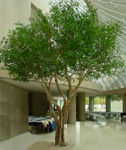Naturtroget ficus träd.