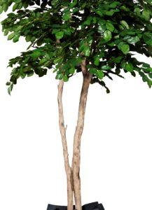 Naturtroget bokträd med äkta stam
