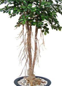 Naturtrogen växt med äkta stam