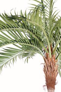 Cocospalm med böjd stam