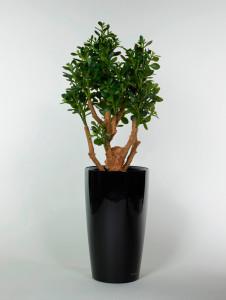 Konstväxt Crassula i hög svart kruka