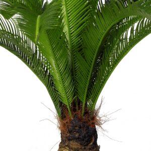 Naturtrogen Cycaspalm