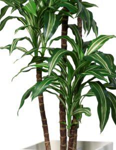 Dracaena Fragrans grön-vit