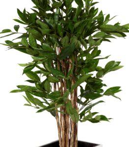 Dracaena Surculosa med naturligt utseende