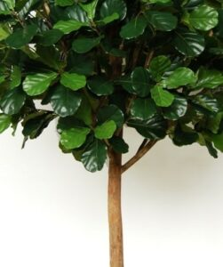Ficus Lyrata naturtrogen