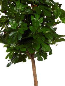 Naturtroget fikonträd