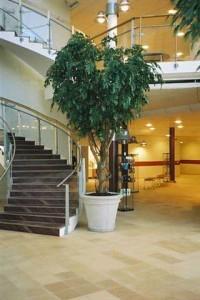 Konstgjord ficus på äkta, torkad stam planterad i betongkruka.
