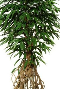 Longifolia med naturligt utseende