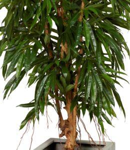 Fikus Longifolia
