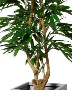 Longifolia träd