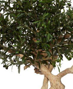 Naturtroget Olivträd