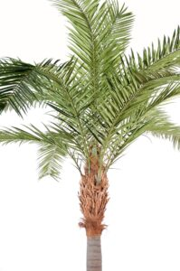 Naturtrogen phoenixpalm