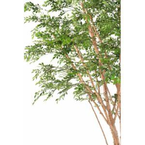 Naturtroget Bucidaträd uppbyggt på torkade stammar