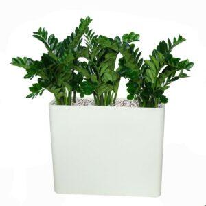 Zamifolia avskärmning